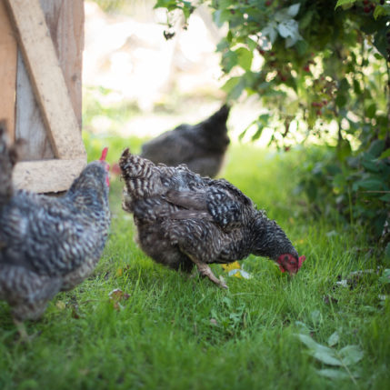 Laimingi kiaušiniai – laimingi kepiniai – laimingi mes visi!